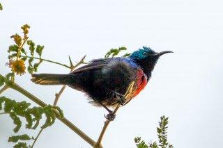 Red-chested Sunbird - Cinnyris erythrocercus