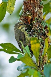 Red-chested Sunbird (f) - Cinnyris erythrocercus