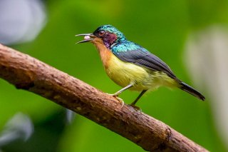 Ruby-cheeked Sunbird - Chalcoparia singalensis