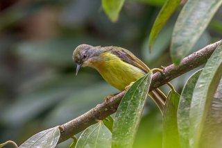 Ruby-cheeked Sunbird (f) - Chalcoparia singalensis