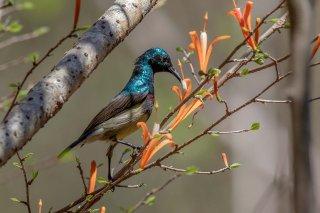 Souimanga Sunbird - Cinnyris sovimanga