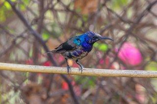 Splendid Sunbird - Cinnyris coccinigastrus