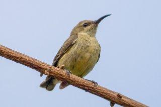 Splendid Sunbird (f) - Cinnyris coccinigastrus