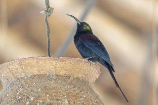 Tacazze Sunbird - Nectarinia tacazze