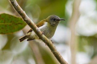 Temminck's Sunbird (f) - Aethopyga temminckii