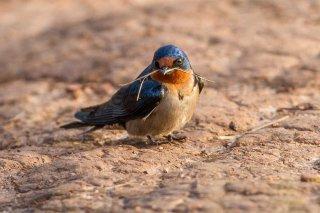 Angolan Swallow - Hirundo angolensis