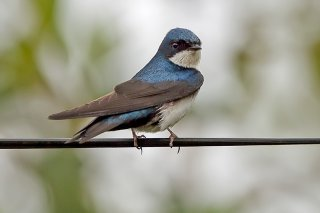 Blue-and-white Swallow - Pygochelidon cyanoleuca