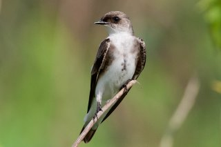 Brown-chested Martin - Progne tapera