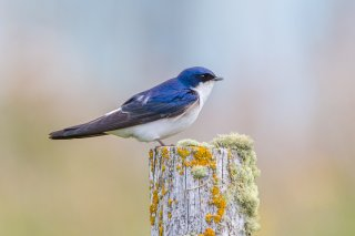 Chilean Swallow - Tachycineta leucopyga
