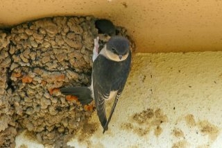 Common House Martin - Delichon urbicum