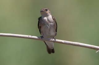 Northern Rough-winged Swallow - Stelgidopteryx serripennis