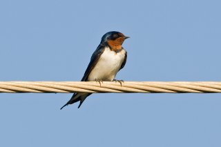 Red-chested Swallow - Hirundo lucida