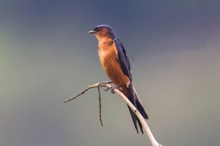 Sri Lanka Swallow - Cecropis hyperythra