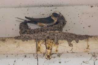 Striated Swallow - Cecropis striolata
