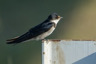 White-throated Swallow - Hirundo albigularis