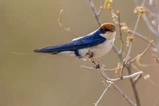 Wire-tailed Swallow - Hirundo smithii