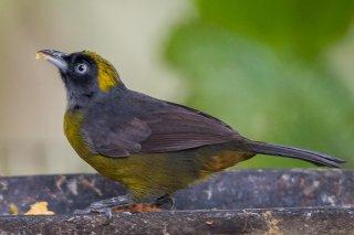 Dusky-faced Tanager - Mitrospingus cassinii
