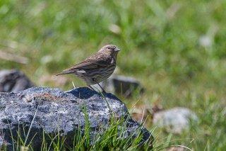 Ash-breasted Sierra-Finch (f) - Phrygilus plebejus