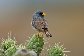 Band-tailed Sierra Finch - Phrygilus alaudinus