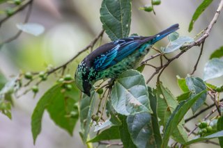 Beryl-spangled Tanager - Tangara nigroviridis
