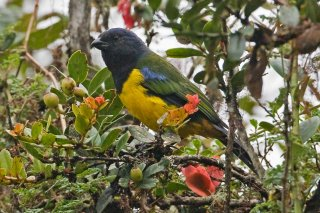 Black-chested Mountain Tanager - Buthraupis eximia
