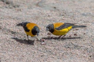Black-hooded Sierra-Finch - Phrygilus atriceps
