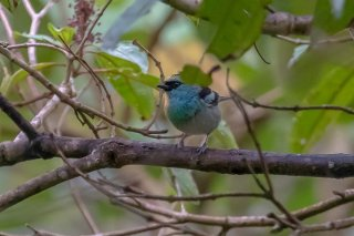 Blue-browed Tanager - Tangara cyanotis