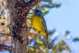 Blue and Yellow Tanager - Thraupis bonariensis