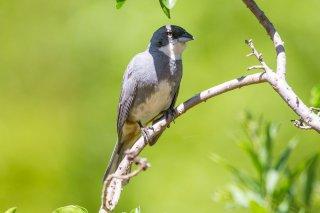 Common Diuca Finch - Diuca diuca