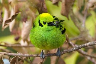Emerald Tanager - Tangara florida