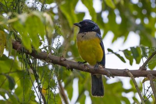 Buff-breasted_Mountain_Tanager.jpg