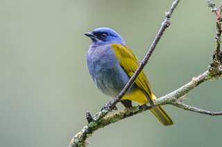 Blue-capped_Mountain_Tanager.jpg