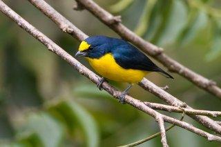 Yellow-throated_Euphonia_male.jpg