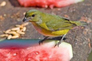 Yellow-throated_Euphonia_female.jpg