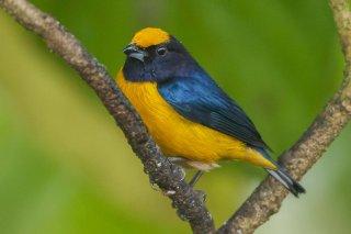 Orange-bellied_Euphonia.jpg