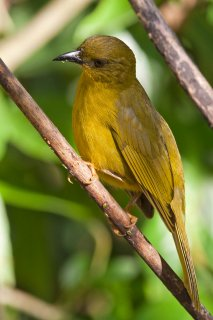 Olive-green_Tanager.jpg