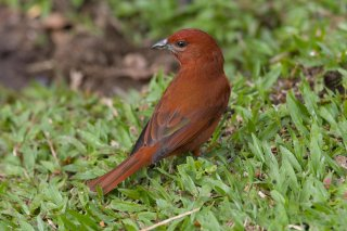 Hepatic_Tanager-male.jpg