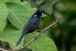 White-lined_Tanager_male.jpg
