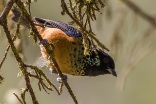 Spangled-cheeked_Tanager.jpg
