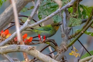 Silvery-backed_Tanager_female.jpg