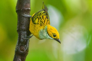 Silver-throated_Tanager.jpg