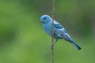 Blue-grey_Tanager.jpg