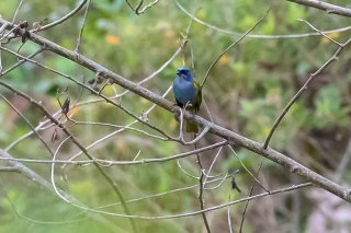 Blue-capped_Tanager.jpg