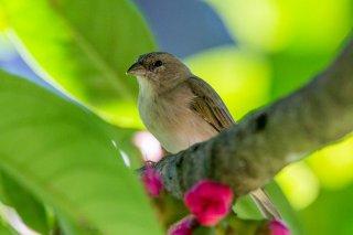 Grassland Yellow Finch (f) - Sicalis luteola