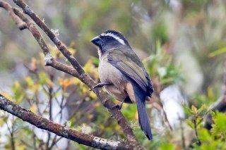 Green-winged Saltator - Saltator similis