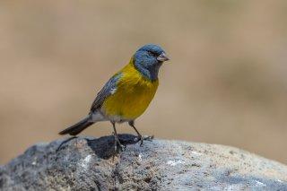 Grey-hooded Sierra-Finch - Phrygilus gayi