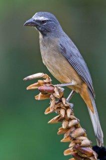 Greyish Saltator - Saltator coerulescens
