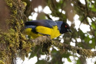 Hooded Mountain Tanager - Buthraupis montana