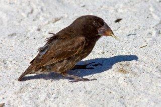 Large Ground Finch - Geospiza magnirostris