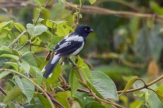 Magpie Tanager - Cissopis leverianus